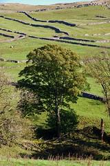 Tree and dry stone walls... (Keefy243) Tags: tree dry stone walls autumn foliage malham dale north yorkshire uk