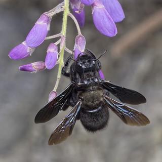Xylocopa violacea in copula