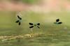 Yellow-tailed Demoiselle / Westliche Prachtlibelle (Calopteryx xanthostoma) (Chris Kex) Tags: odonata libelle damselfly kleinlibelle demoiselle western westliche prachtlibelle calopterygidae calopteryx xanthostoma males male männchen territorialverhalten gewässer fluss flug flight summer sommer flare flares unschärfekreise