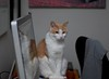 Otis visiting at the computer (rootcrop54) Tags: otis dilute orange tabby masked male cat reflection computer screen sweet boy neko macska kedi 猫 kočka kissa γάτα köttur kucing gatto 고양이 kaķis katė katt katze katzen kot кошка mačka gatos maček kitteh chat ネコ
