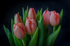 Tulips (frankmh) Tags: plant flower tulip hittarp skåne sweden bouquet indoor