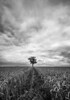 In a field of one (grbush) Tags: tree lonetree minimalist landscape field countryside rural natural nature farming wheat bedfordshire blackwhite bw monochrome stormy dramatic sonya7 tokinaatx116prodxaf1116mmf28 leadinglines