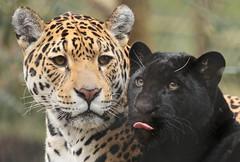 jaguar artis BB2A3296 (j.a.kok) Tags: jaguar kat cat mammal artis animal zoogdier zuidamerika southamerica pantheraonca rica predator