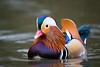 Mandarin Duck (Susanne Leyh) Tags: duck mandarin mandarinduck mandarindrake drake ente vogel bird waterfowl water mandarinente animal tier wildlife outside outdoors nikon nikkor