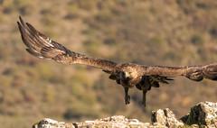 Golden Eagle - Sierra de Andujar - Spain (wietsej) Tags: golden eagle sierra de andujar spain steenarend animal bird prey nature sony rx10 iv rx10m4 rx10iv