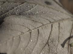 Laub (IS OZ Photo) Tags: laub leaf wassertropfen tropfen waterdrop drops lichtundschatten lightandshadow oly olympus zuiko isoz makro macro olympuse esystem 43 ft fourthirds dslr spiegelreflex 2017 nahaufnahme dof depthoffield herbst autumn natureart naturart