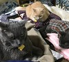 All of the Boys (sjrankin) Tags: 8february2018 edited animal cat bonkers norio yuba yubari hokkaido japan futon bedroom blanket pillow closeup
