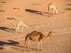 LR Jordan 2017-4170516 (hunbille) Tags: birgittejordan92017lr jordan wadi rum wadirum desert protected saabit area saabet wadisaabit south camel three shadow