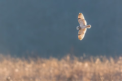 a Short-eared Glow (PhillymanPete) Tags: asioflammeus flight seo nature bif shortearedowl wildlife farm polefarm bird owl mercermeadows pennington newjersey unitedstates us nikon d500 backlit