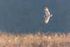 a Short-eared Glow (PhillymanPete) Tags: asioflammeus flight seo nature bif shortearedowl wildlife farm polefarm bird owl mercermeadows pennington newjersey unitedstates us nikon d500 backlit