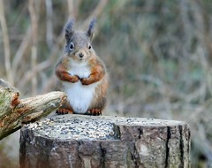 Red Squirrel (eric robb niven) Tags: ericrobbniven scotland dundee fife tayport tentsmuir redsquirrel springwatch