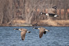 Coming in for a Landing (psmithusa) Tags: geese wildlife lake woods bird fly cruise landing land migration migrate