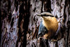 Nuthatch (on sequoia) - Kleiber im Mammutbaum... (Benny aka WortLichtMaler) Tags: kleiber baum kettern klettermax canon 6d ef3004l 300mm lens prime animal bird vogel tier cute süs flink schnell tree sequoia mammutbaum color eos