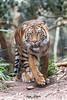 Debbie (ToddLahman) Tags: debbie sandiegozoosafaripark safaripark sumatrantiger female mammal outdoors beautiful portrait canon7dmkii canon canon100400 closeup tiger tigers tigertrail escondido eyelock exhibitb