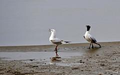 Couple de mouettes rieuses (Diegojack) Tags: préverenges vaud suisse oiseaux mouettes couple plage sable reflets coth5