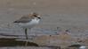 red-capped plover (Charadrius ruficapillus)-9895 (rawshorty) Tags: rawshorty birds nsw australia portmacquarie