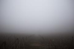 It will be wine (jeremylisci) Tags: italia italy piemonte langhe barolo barbera nebbiolo nebbia fog aspirantisenzatetto igersitalia igersitaly igerpiemonte winter wine grapevine cold
