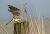 R18_6623 (ronald groenendijk) Tags: cronaldgroenendijk 2018 copyright falcotinnunculus rgflickrrg animal bird birds birdsofprey groenendijk kestrel nature natuur natuurfotografie netherlands outdoor ronaldgroenendijk roofvogels torenvalk vogel vogels