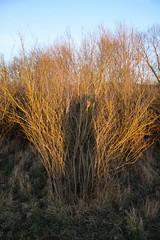Schattenselfie in der Abendsonne / Shadow Selfie in the evening sun (reipa59) Tags: ich sunset sonnenuntergang abendsonne busch ransweiler rheinlandpfalz shadow schatten selfie sonne sun eveningsun