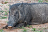 J7. Yala - Sanglier Indien (Darth Jipsu) Tags: yala 4x4 asia mammal nationalpark srilanka snout jeep animal national wildlife ceylon boar ceylan park pig wild indian safari southernprovince lk