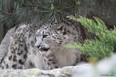 Panthère des neiges_YALA (Passion Animaux & Photos) Tags: panthere neiges once snow leopard panthera uncia parc animalier saintecroix france