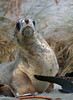 New Zealand Sea Lion (CGDana) Tags: pineped endangered threatened rare canon 7d