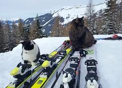 Alpine cats (Jaedde & Sis) Tags: cat skiing sport funny red yellow sweep pregamewinner storybookwinner duelwinner