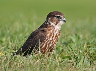 DSP J041 - Merlin (Falco columbarius)