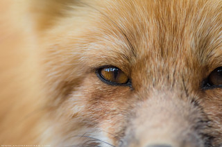 Red fox / Renard roux
