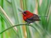 Crimson sunbird showing long tubular tongue (Robert-Ang) Tags: sunbird animal wildlife tongue crimsonsunbird nature jurongecogarden singapore animalplanet aethopygasiparaja