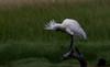 royal spoonbill (Platalea regia)-6650 (rawshorty) Tags: rawshorty birds canberra australia act jerrabomberrawetlands