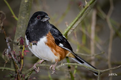 Eastern Towhee (jt893x) Tags: 150600mm bird d500 easterntowhee jt893x male nikon nikond500 pipiloerythrophthalmus sigma sigma150600mmf563dgoshsms sparrow towhee coth5 coth thesunshinegroup alittlebeauty sunrays5