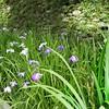 Iris d'eau (buch.daniele) Tags: plantesfleursflowers fougères iris surfinia vertgreenviolet rougered blanc luminosité parcdelavillataranto danièlebuch italia italienord europe