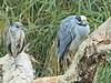 Yellow-crowned Night-Herons 02-20180119 (Kenneth Cole Schneider) Tags: florida miramar westmiramarwca