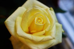 rose (andreea_mihailiuc) Tags: rose nature plant macro colors yellow indoor natural focus andreeamihailiuc nikon nikond3200 nikonphotography 40mmf28 40mm love relaxing flower