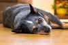 Lola (Rafael Henrique Duarte) Tags: 19205 australian cattle dog cão