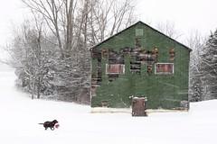 Looks like someone liks the snow (a56jewell) Tags: a56jewell dog rudy snow winter farm kiln ball red