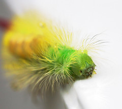 Calliteara pudibunda (2) (JLM62380) Tags: callitearapudibunda pudibondepale tussock chenille caterpillar yellow animal butterfly insect macro papillon