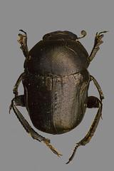 Pillendreher (planetvielfalt) Tags: coleoptera coprinae polyphaga scarabaeidae scarabaeiformia