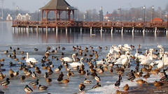 Ostróda (Sylwester Ch.) Tags: pier molo hafen mole jezioro see lake drweckie lac ptak ave bird oiseau vogel uccello zima winter poland anas platyrhynchos 1025fav
