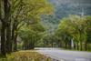 2018-01-27 三星 茄苳 行道樹 (snailss (蝸牛)) Tags: 宜蘭縣 三星鄉 茄苳 行道樹 落葉 一月 變色植物 黃金地毯 道路