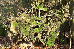 Uprooted-tree (Fred Moitry) Tags: uprootedtreegreenmosslichengreenlichenforestdeadle flers normandie france 33 uprooted tree green moss lichen forest dead leaves carpet autumn winter wild mushroom french ground nature natural wood twig stick trunk root dark