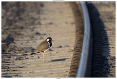Red-wattled Lapwing (टिटहरी) - Vanellus indicus (jhureley1977) Tags: redwattledlapwing टिटहरी vanellusindicus birds birding birdsofindia india indiabirds ashjhureley avibase naturesvoice bbcspringwatch rspbbirders sanctuaryasia orientbirdclub jabalpur jabalpurbirds ashutoshjhureley
