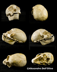 Semnopithecus priam? (achrntatrps) Tags: crânes skulls bones os animals nikkor d800 pce45mmf28 alexandredellolivo suisse lachauxdefonds lycéeblaisecendrars collection sb900 sb800 achrntatrps achrnt atrps photographe photographer flash
