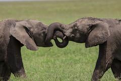 Tying the knot! (Ring a Ding Ding) Tags: 2018 africa ascilia elephant loxodontaafricana namiri serengeti tanzania baby friendship love nature playing safari wildlife young shinyangaregion