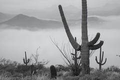 Tum028_small (patcaribou) Tags: tucson tumamochill sonorandesert fog cactii saguarocactus