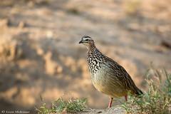 Crested Francolin (leendert3) Tags: leonmolenaar southafrica krugernationalpark nature wildlife crestedfrancolin birds ngc npc