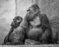 Winston and Vila (ToddLahman) Tags: winston vila westernlowlandgorilla gorilla matriarch silverback outdoors blackandwhite beautiful mammal male female portrait sandiegozoosafaripark safaripark canon7dmkii canon canon100400 closeup