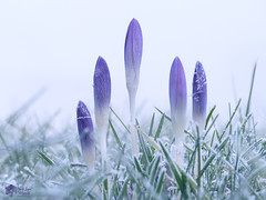 De winter ontmoet het voorjar! (nsiepelbakker) Tags: winter spring cold crocus omdem1markii zuiko60mmf2 8 outdoor grass flowers