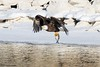 IMG_8937 american bald eagle (starc283) Tags: eagle bird birding birds baldeagle flickr flicker starc283 wildlife winter outdoors outdoor americanbaldeagle canon canon7d nature naturesfinest naturewatcher
